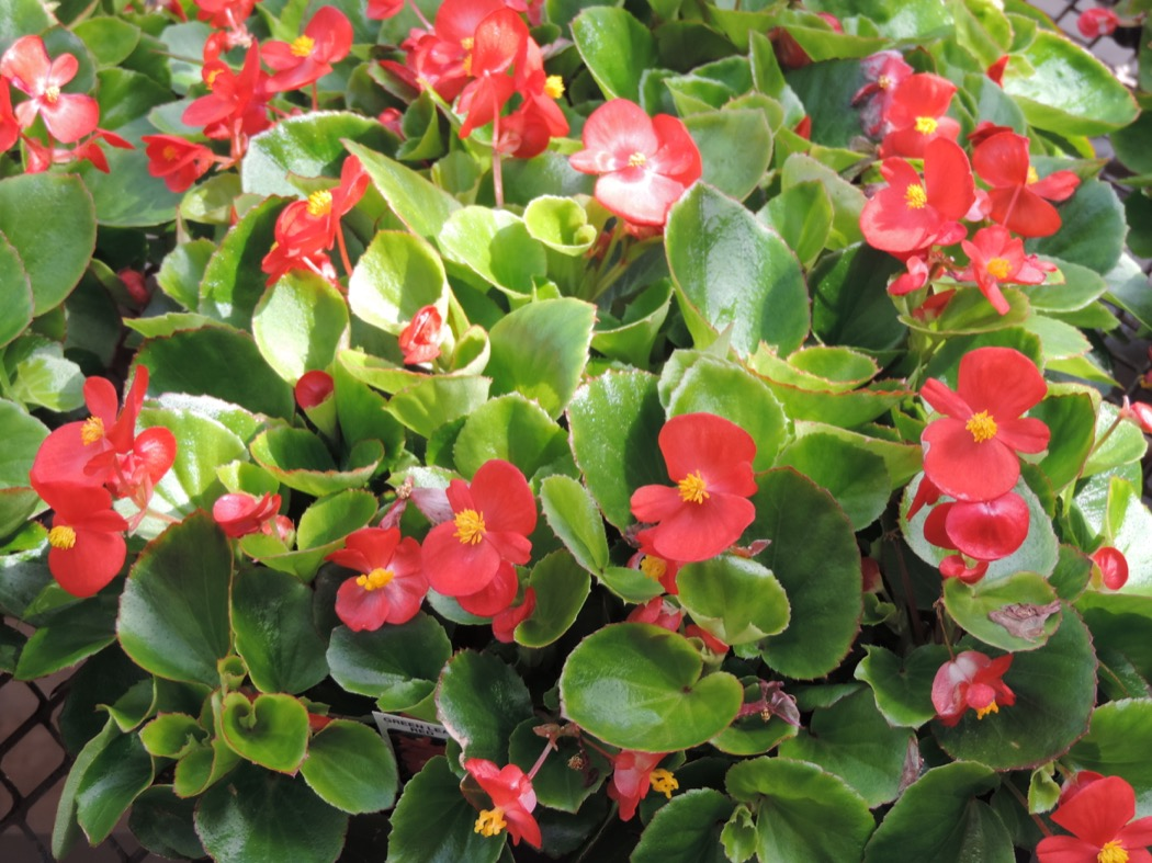 Robsons greenhouse whats in season annual flowers annual flowers also come in a variety of different colors and give you the option to change color schemes each year izmirmasajfo